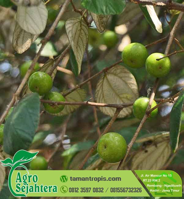 Harga Pohon Bidara Di Bandung Tempat Jual Pohon Bidara